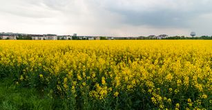 Yellow rape field on the outskirts of Howald. Landscape of a beautiful blooming yellow rape field on the outskirts of Howald, Luxembourg Stock Images