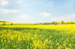 Yellow rape field Stock Image