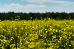 Yellow rape field with some flowers from the close perspective and the field and a strip of forest intended blurred in the backgro. Und, germany Stock Image