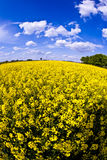 Yellow rape field in spring Stock Photo