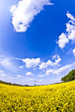 Yellow field in spring stock photography