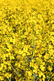 Yellow rape field in spring Stock Photos