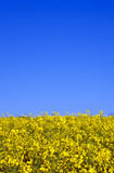 Yellow rape field in spring Royalty Free Stock Photo