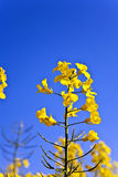 Yellow rape field in spring Royalty Free Stock Photos