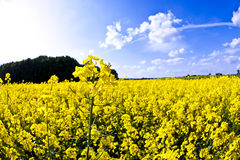 Yellow field in spring stock photo