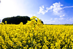 Yellow field in spring royalty free stock images