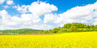 Yellow rape field Royalty Free Stock Image
