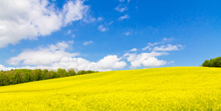 Yellow rape field in spring Stock Images