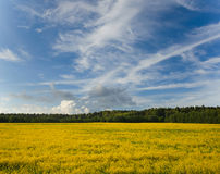 Yellow rape field in sunny day Royalty Free Stock Images