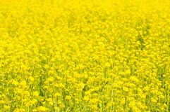 Yellow rape field, very shallow focus Royalty Free Stock Image