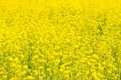 Yellow rape field, very shallow focus Royalty Free Stock Image
