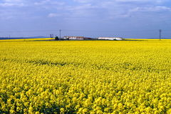 Yellow rape field. Wall and electric wires at background Royalty Free Stock Photos