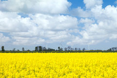 The yellow rape field Royalty Free Stock Photos
