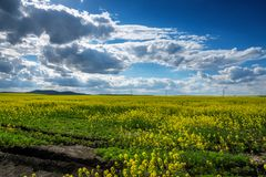 Free Yellow Rape Field With Sunset Sky. Stock Photography - 114957202