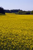 Yellow rape fields Stock Images