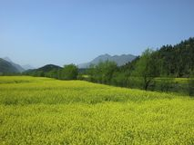 Yellow rape flower. Yellow rape fields in LuoPing, YunNan Prov,China Stock Image