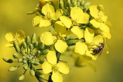 Yellow rape flower with bee closeup. Honey bee collects pollen on yellow rape flower, beautiful spring closeup background stock photography