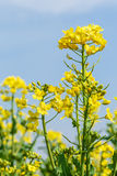 Yellow rape flower bloom in farmland Royalty Free Stock Photos