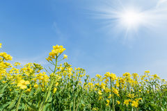 Yellow rape flower bloom in farmland Stock Images