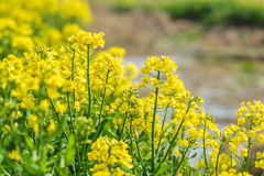 Yellow rape flower bloom in farmland Royalty Free Stock Images