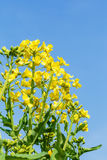 Yellow rape flower bloom in farmland Stock Photography