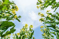 Yellow rape flower bloom in farmland Stock Photo