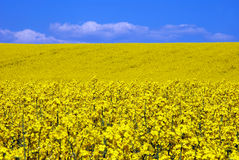 Yellow rape flower field Stock Image