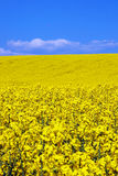 Yellow rape flower field Royalty Free Stock Photo