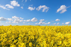 Yellow rape flower field and blue sky Royalty Free Stock Images