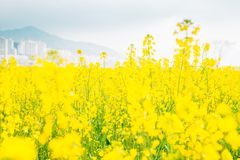 Yellow flower field at Daejeo Ecological Park, Busan, Korea. Yellow flower field at Daejeo Ecological Park in Busan, Korea stock image
