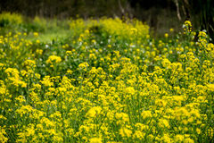 Yellow rape flower. A view of rape flower field Stock Photos