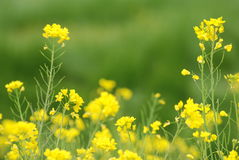 Yellow rape flowers Stock Image