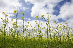 Yellow rape flowers against a blue sky. With clouds Royalty Free Stock Images