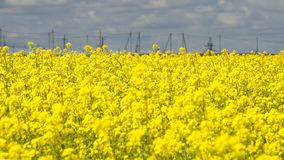 Yellow rape flowers against a blue sky. With clouds Stock Image