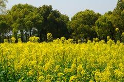 Yellow Rape Flowers Royalty Free Stock Photo