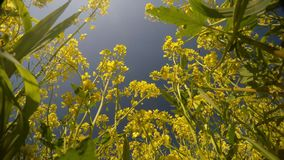 Yellow rape flowers and bees view from below, close-up, blue sky, light breeze stock video