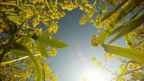 Yellow rape flowers, blue sky, sun and bees collect pollen, a peaceful picture from the bottom up stock video