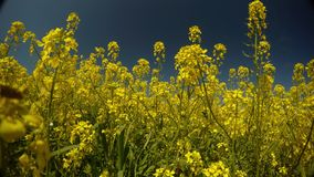 Yellow rape flowers and blue sky, the wind shakes grass and bees collect pollen, a peaceful picture stock footage