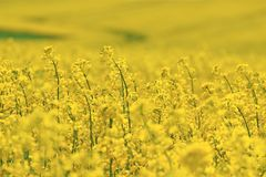 Yellow rape flowers Royalty Free Stock Images