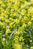 Yellow rape flowers Royalty Free Stock Image