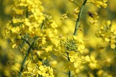 Yellow rape flowers with flying bee closeup. Flying honey bee collects pollen on yellow rape flowers, beautiful spring closeup background stock image