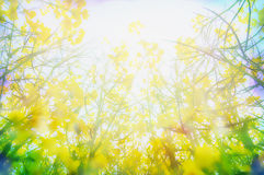 Yellow rape flowers in sunlight, blurred nature background Royalty Free Stock Photo