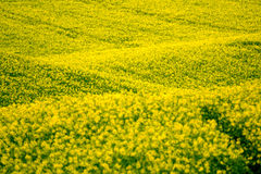 Yellow rape hills in South Moravia Royalty Free Stock Photos