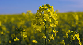 Yellow rape Royalty Free Stock Images