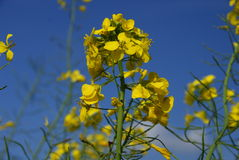 Yellow rape plant under blue sky Royalty Free Stock Photos