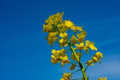 Yellow rape-seed blossom before a blue sky royalty free stock images