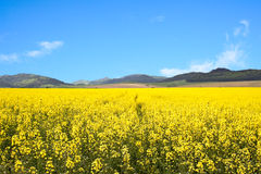 Yellow Rape-seed Field Royalty Free Stock Photos
