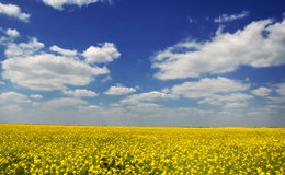 Yellow rape seed field Royalty Free Stock Image
