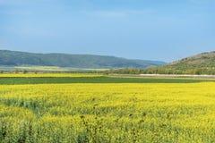 Yellow rape seed field in Bulgaria Stock Photography