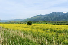 Yellow rape seed field in Bulgaria Stock Images